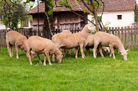 Group of sheeps on the farm photo