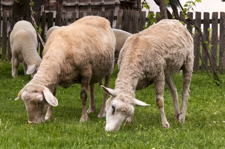 Sheep at farm eating green photo