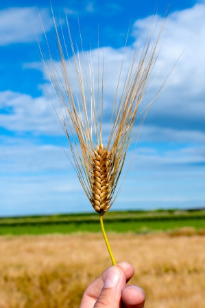 Single wheat in man hand photo