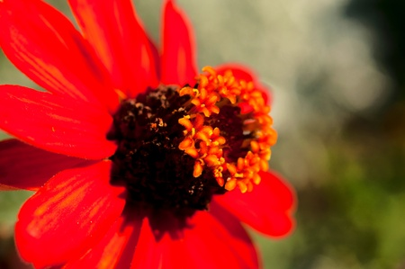 Selective focus on the pollen in red flower Stock Photo - 20501765