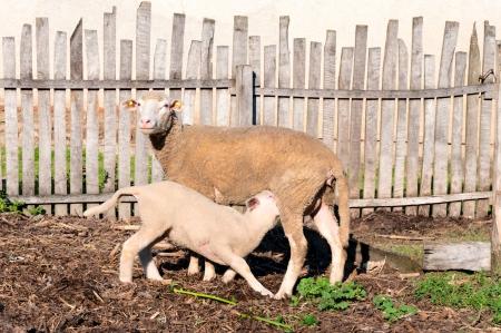 Mother feeding baby lamb  photo