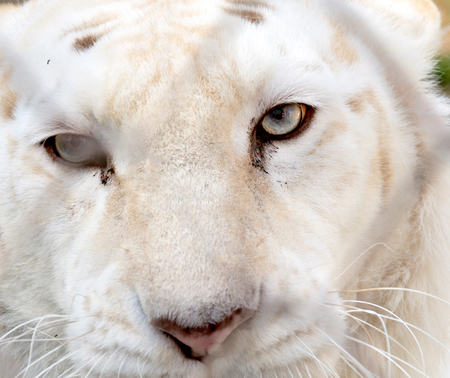 left behind: Selective focus on the left eye of white tiger behind net Stock Photo