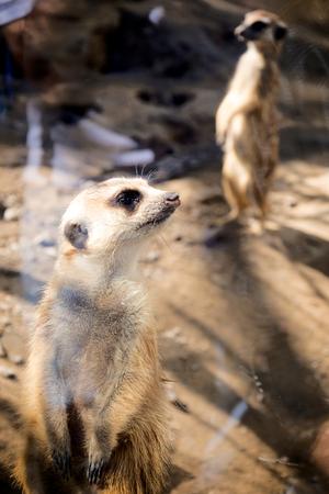mercat: Portrait of the young meerkat in zoo.Selective focus on the front meerkat
