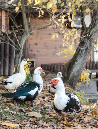 muscovy duck: Muscovy Duck out of water,selective focus Stock Photo