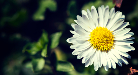 daisy flower: Closeup of a beautiful yellow and white Daisy flower,copy space