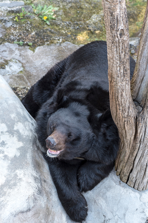 black bear: Big black bear chilling outside,selective focus