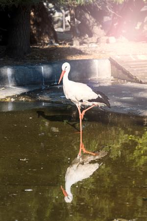 planos electricos: cigüeña blanca grande en el lago