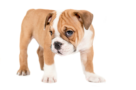 english bulldog puppy: Little and cute english bulldog puppy standing on white background,selective focus