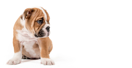 english bulldog puppy: Sad English Bulldog puppy sitting isolated on white background with empty space for ads Stock Photo