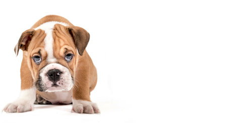 english bulldog puppy: Portrait of English Bulldog puppy isolated on white background with empty space