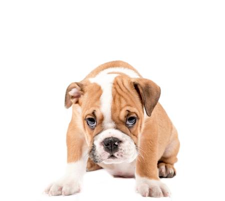 english bulldog puppy: Little and cute english bulldog puppy isolated on white