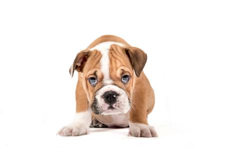 english bulldog puppy: Portrait of English Bulldog puppy isolated on white background