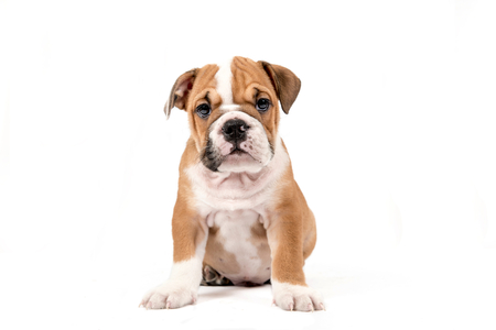 whote: Cute puppy of English Bulldog isolated on white background,selective focus