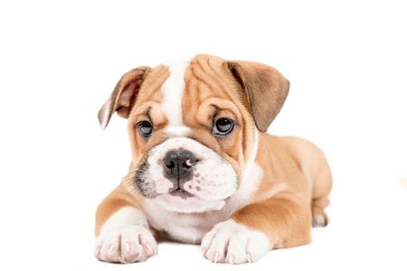 english bulldog puppy: Little and cute english bulldog puppy isolated on white background Stock Photo