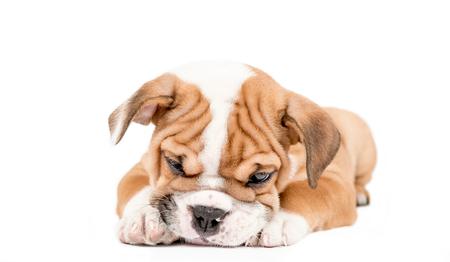 whote: Sleepy puppy of English Bulldog isolated on white background