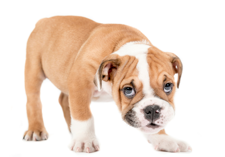 english bulldog puppy: English bulldog puppy standing on white background,selective focus