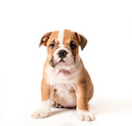 Schattige puppy van het Engels Bulldog op een witte achtergrond