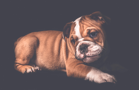 Portrait of english bulldog pup in low key,selective focus Stock Photo
