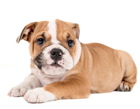 english bulldog puppy: Portrait of english bulldog puppy isolated on white background Stock Photo