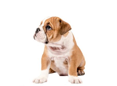 english bulldog puppy: English bulldog puppy isolated on white background