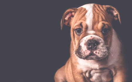 Portrait of english bulldog pup in low key,selective focus and empty space Stock Photo