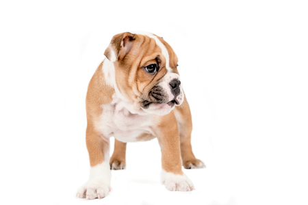 obediencia: Inglés bulldog cachorro de pie, aislado en fondo blanco
