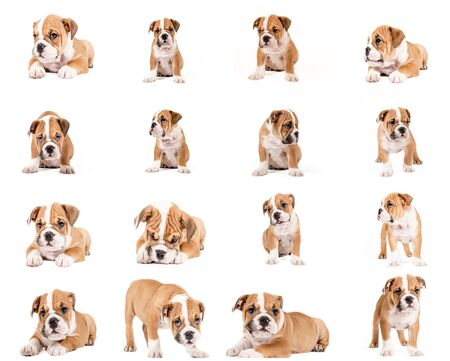 english bulldog puppy: English bulldog puppy collage, isolated on white background