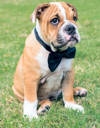 english bulldog puppy: English bulldog puppy outdoor,selective focus
