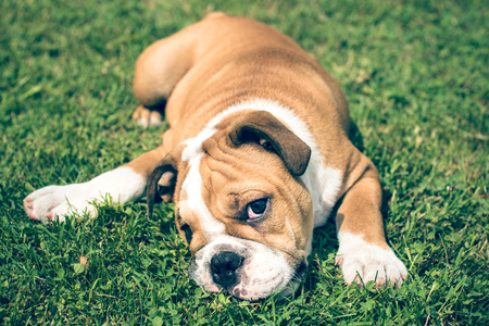 pup: Cute pup of English bulldog playing on the grass in backyard,selective focus Stock Photo
