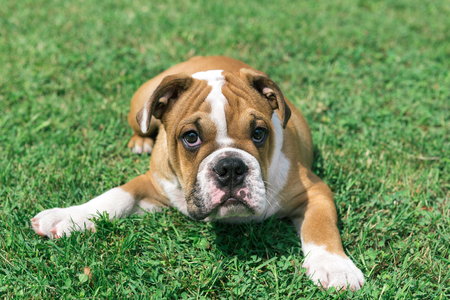english bulldog puppy: English bulldog puppy laying on the grass,selective focus Stock Photo