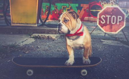 english bulldog puppy: Little English bulldog puppy on the skateboard,selective focus Stock Photo