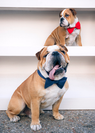 medium body: Portrait of little and big English bulldogs,selective focus