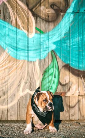 english bulldog puppy: Portrait of cute english bulldog puppy,selective focus