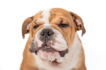english bulldog puppy: Grumpy English bulldog puppy isolated on white