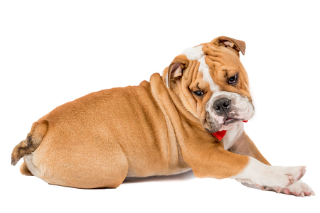 english bulldog puppy: Lazy English bulldog puppy isolated on white background