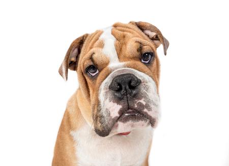 pup: Portrait of grumpy English bulldog pup isolated on white background