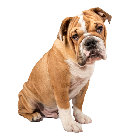 english bulldog puppy: English bulldog puppy looking at camera isolated on white background