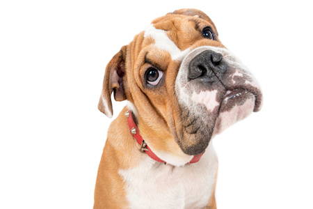 Portrait of English bulldog pup isolated on white background Stock Photo