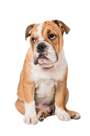 Portrait of cute English bulldog pup isolated on white background