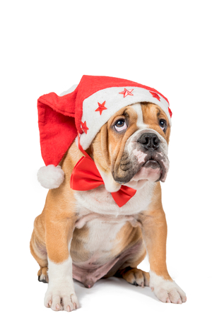 english bulldog puppy: English bulldog puppy with Christmas hat isolated on white background