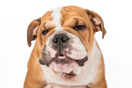 english bulldog puppy: Portrait of angry English bulldog puppy isolated on white background Stock Photo