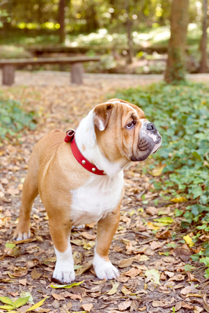 pup: Little English bulldog pup outdoor,selective focus