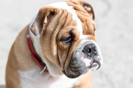 pup: English bulldog pup portrait,seelctive focus