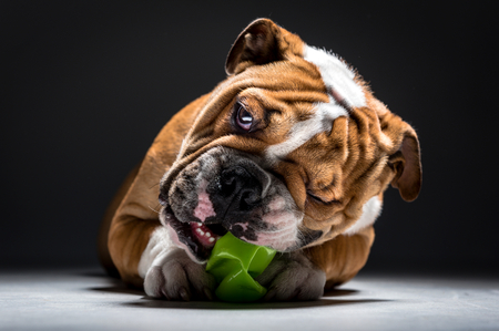 pup: English bulldog pup playing with the toy Stock Photo