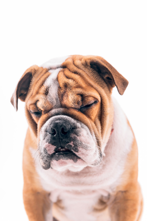 pup: Sleepy English bulldog pup on white background Stock Photo
