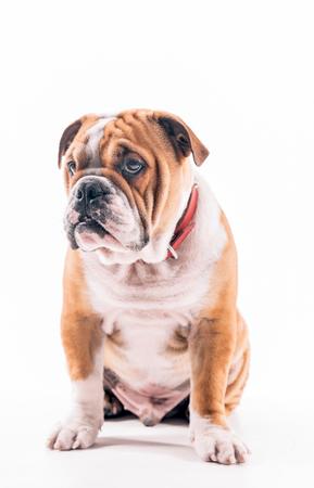 pup: English bulldog pup portrait on white background