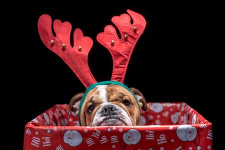 pup: Christmas box with English bulldog pup,selective focus