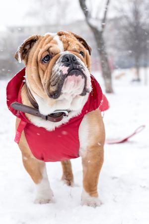 Little english bulldog pup on the snow,selective focus  Stock Photo