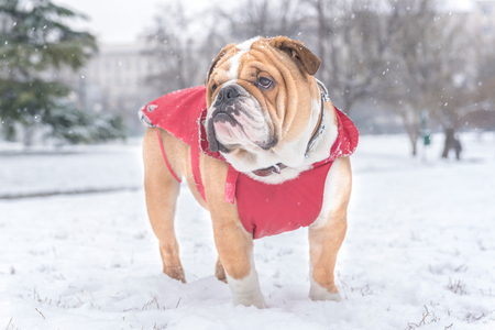 Little bulldog outdoor in the park during snow storm,selective focus