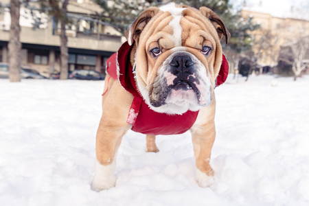 English bulldog pup on the snow